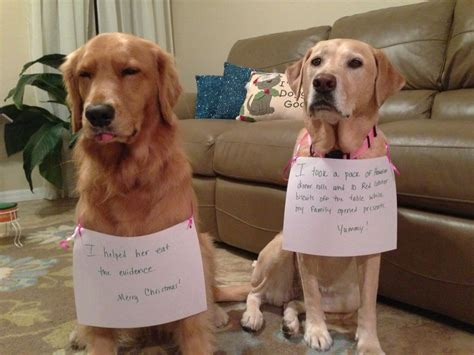 guilty golden retriever murphy sully golden retriever yellow lab shaming