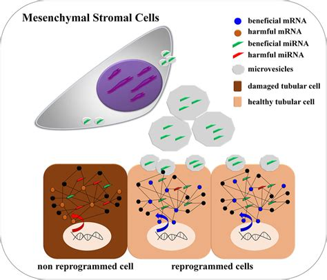 frontiers stromal cell induction of frontiers a regulatory mirna mrna network is associated