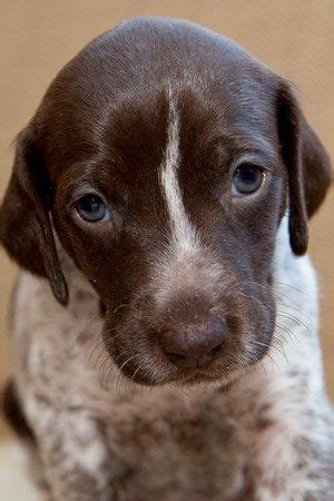 german shorthaired pointer puppies near me 1000 ideas about dachshunds for sale on dapple dachshund miniature