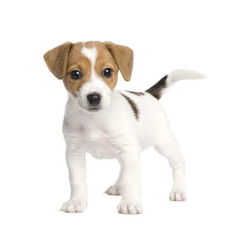 russel terrier puppy terrier puppy me