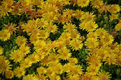 arbusti fioriti perenni piante tappezzanti fiori gialli idee per il design della