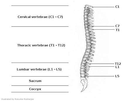 diagram of spinal cord spinal cord diagram anatomy and physiology