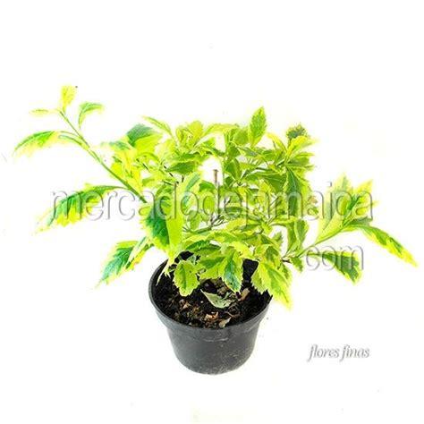 17 best images about plantas on pinterest los gatos 17 best images about plantas de ornato on pinterest