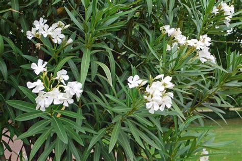 oleandro in vaso oleandro nerium oleander nerium oleander piante da