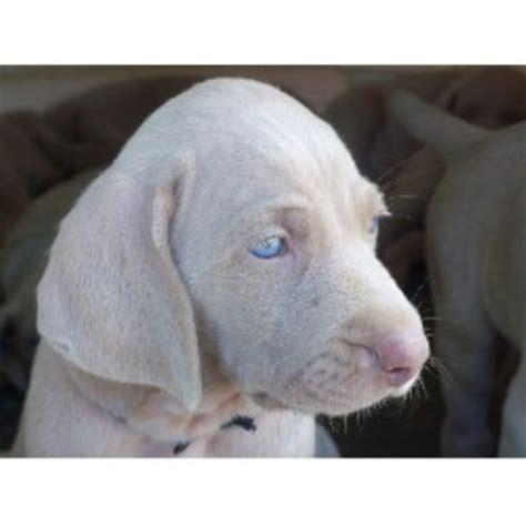 weimaraner puppies pa bichon frise breeder in johnston rhode island breeds picture