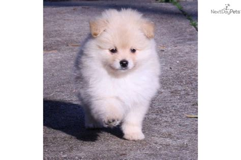 pomeranian for sale houston pomeranian for sale for 700 near houston 193be0fb d061