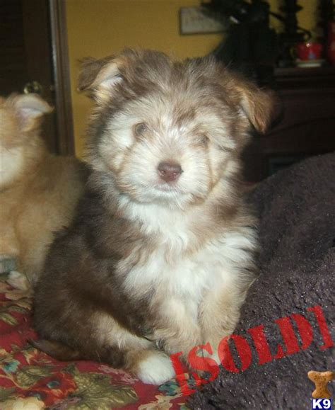 havanese chihuahua mix for sale document moved