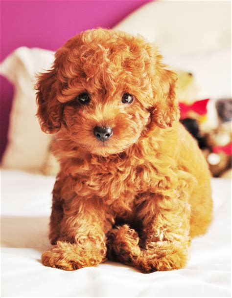 puppy that looks like a teddy teddy puppy what a poodle looks like before a flickr photo