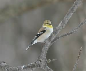 ohio bird photo collection american goldfinch