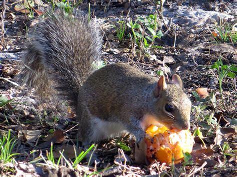 do squirrels eat oranges flickr photo sharing