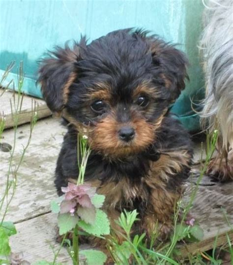 golden yorkie poo bont and honden on