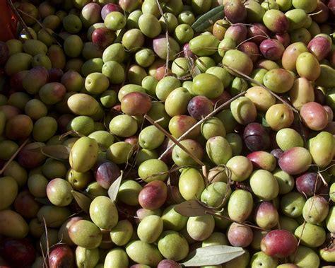 impara a riconoscere le olive da tavola