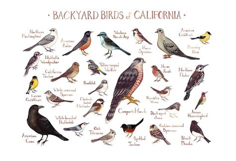 california backyard birds field guide print watercolor