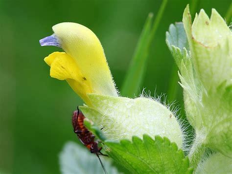 creste di gallo fiore in valgrande flora cresta di gallo comune