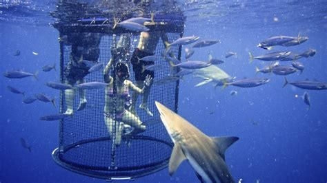 cage dive with sharks diving with the great white shark in south africa travel