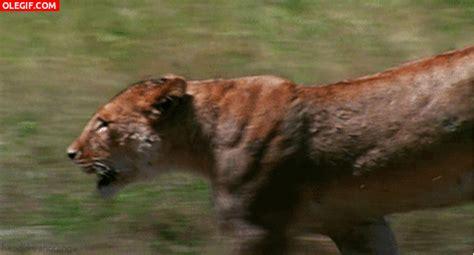 Imagenes Gif Jaguar | gif leona corriendo hacia su presa gif 675