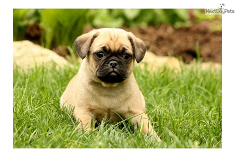 pug puppies near me pug puppy for sale near lancaster pennsylvania 51896c86 d5c1