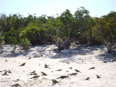 iguana island iguana island in the bahamas they all come running out