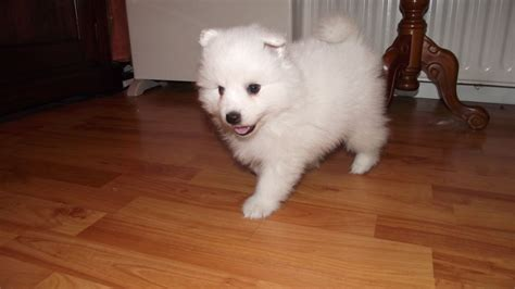 japanese spitz puppies for sale japanese spitz puppies ballymena county antrim pets4homes
