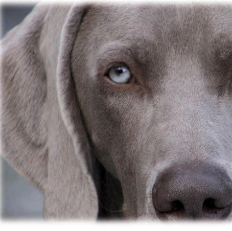 weimaraner puppies colorado pin weimaraners weimaraner puppies breeder colorado on