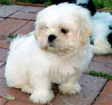 shih tzu club uk shih tzu dogs and cats wiki
