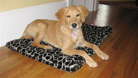 golden retriever varieties mini retrievers golden retriever breeder doodlequest breeds picture