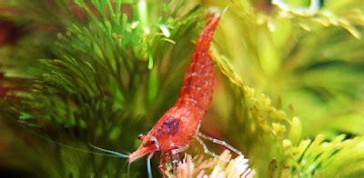 Pakan Udang Cherry kenali udang hias cherry shrimp dan cara merawat serta
