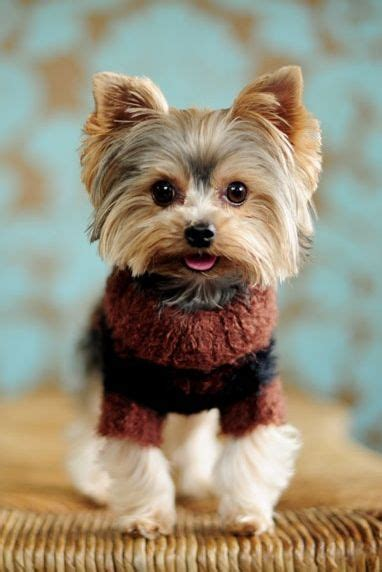 yorkie sweaters sweater yorkie sweater jacket