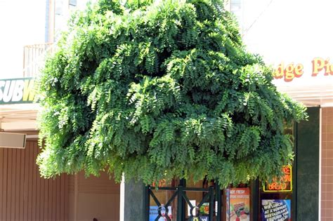 mop top robinia tree for front yard gardening landscaping pintere