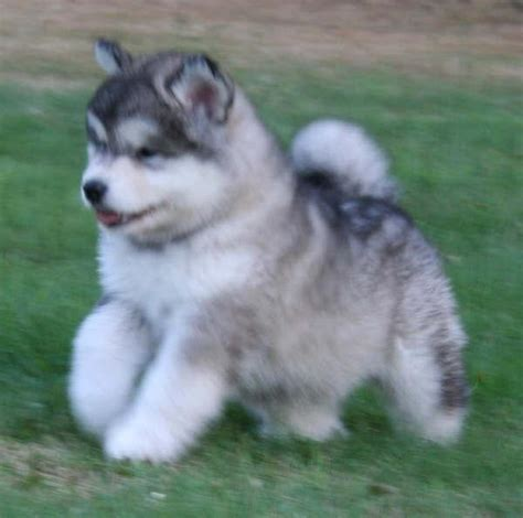 wolf husky puppies husky wolf puppies alaskan malamute husky mix puppies animals wolves