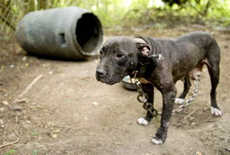 when is a no longer a puppy california will no longer automatically label former fighting dogs as vicious