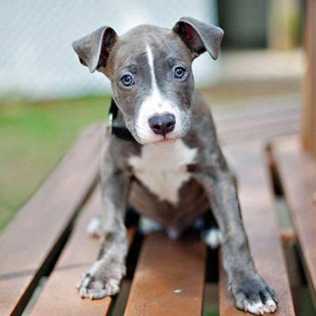 pit bull terrier puppy 14 best blue nose pit bull images on pinterest pit bull