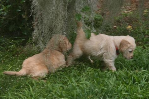 goldendoodle puppy mn rator98huf goldendoodle puppies mn