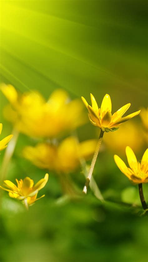 wallpaper hd iphone 6 yellow nice yellow flower close up iphone 6 plus hd wallpapers