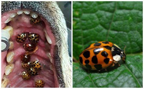 ladybugs in dogs image gallery ladybug