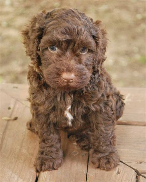 doodle puppies for sale scotland 159 best labradoodle images on dogs