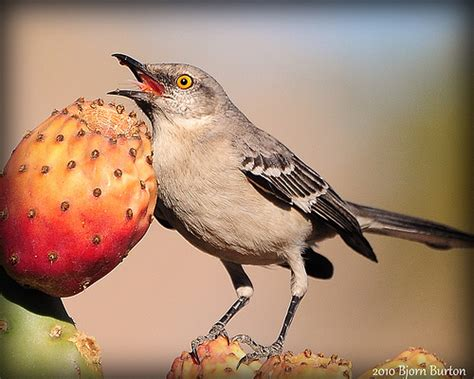 northern mockingbird eating a photo on flickriver