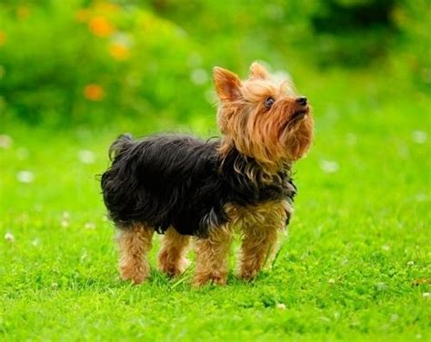 are yorkies with other dogs small with big personality thehappypooch
