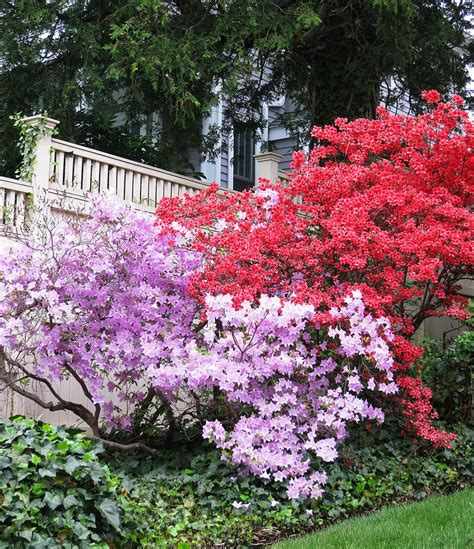 what color is azalea azalea colors crafty projects and a garden niche the t