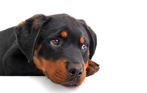 how to your rottweiler puppy with simple commands 5 ways to teach your basic commands wikihow autos post
