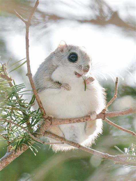 scoiattolo volante gli scoiattoli volanti giapponesi e siberiani sono forse