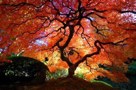 maple tree lifespan japanese maple pics