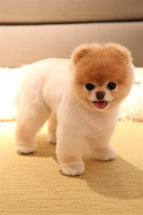 pomeranian boo haircut this is boo the in a teddy haircut left and boo the as a normal