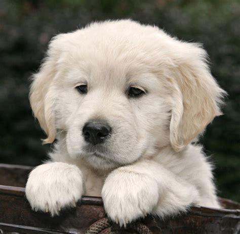 golden retriever alliance welpen hitliste das sind deutschlands beliebteste hunde welt