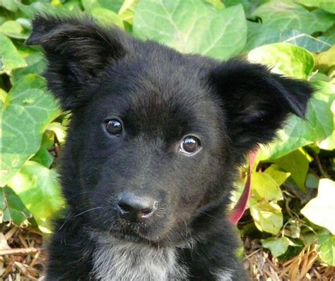 collie mix puppies german shepherd border collie mix dogable