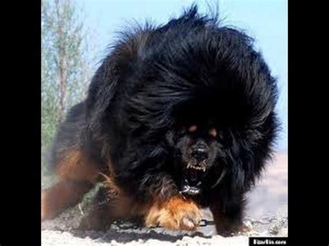 russian puppy caucasian russian shepherd caucasian ovtcharka caucasian shepherd