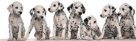 dalmation puppy dalmatian puppy dalmatian puppies for sale