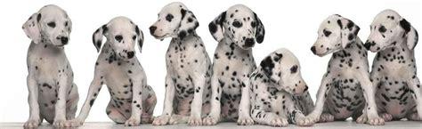dalmatians puppies dalmatian puppy dalmatian puppies for sale