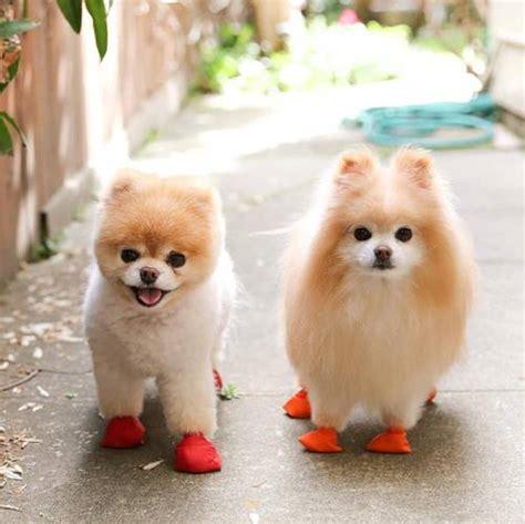 imagenes de animales pequeños razas de perros peque 241 os que no crezcan mucho