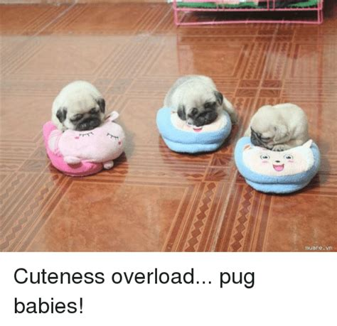 Cuteness Overload Meme - funny pugs memes of 2017 on sizzle pugged